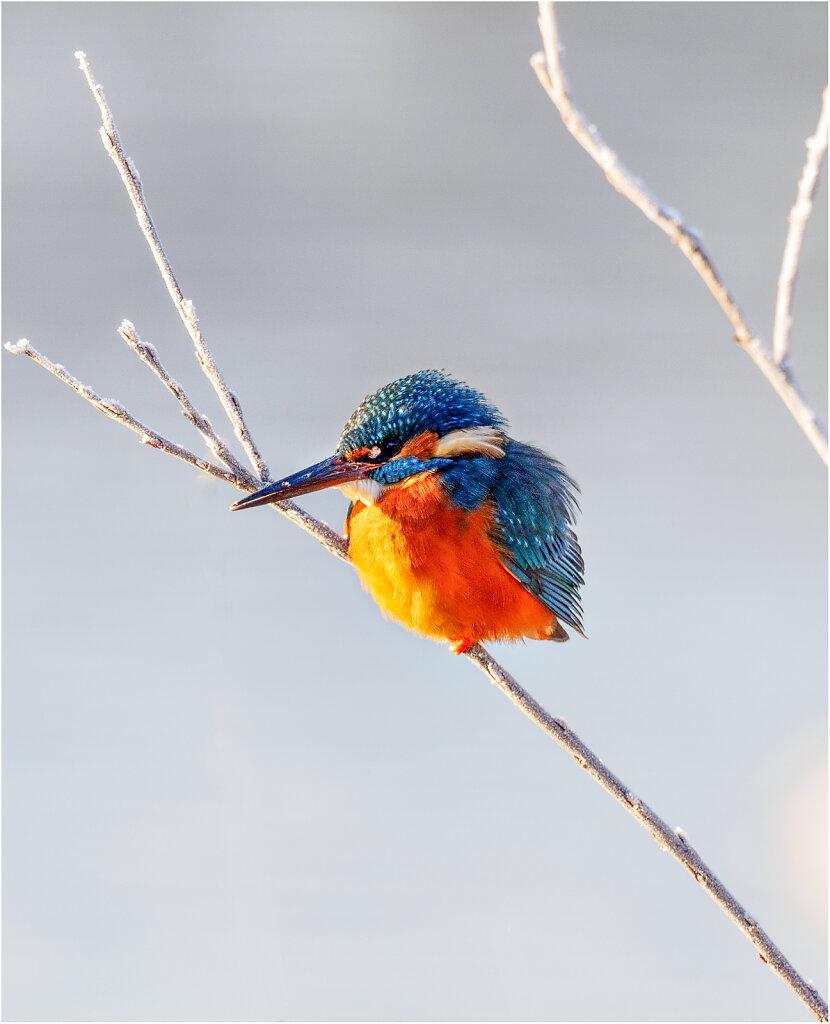 Eisvogel-Kingfisher-Olympus-E-M1-1221202-Bearbeitet.jpg