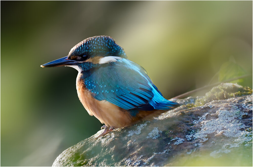 Eisvogel-Kingfisher-Olympus-E-M1MarkII-9150591-Bearbeitet.jpg