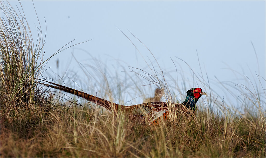 Fasan-Common-pheasant-Olympus-E-M1-3300210-DxO-Bearbeitet.jpg