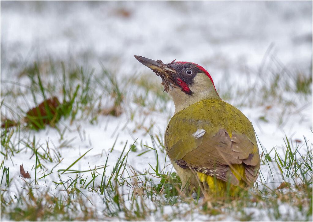 Gruenspecht-Picus-viridis-European-green-woodpecker-Olympus-E-M1MarkII-3170140-DxO-Bearbeitet.jpg