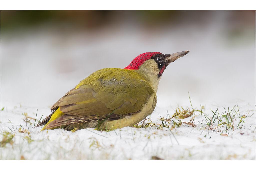 Gruenspecht-Picus-viridis-European-green-woodpecker-Olympus-E-M1MarkII-3170192-DxO-Bearbeitet.jpg