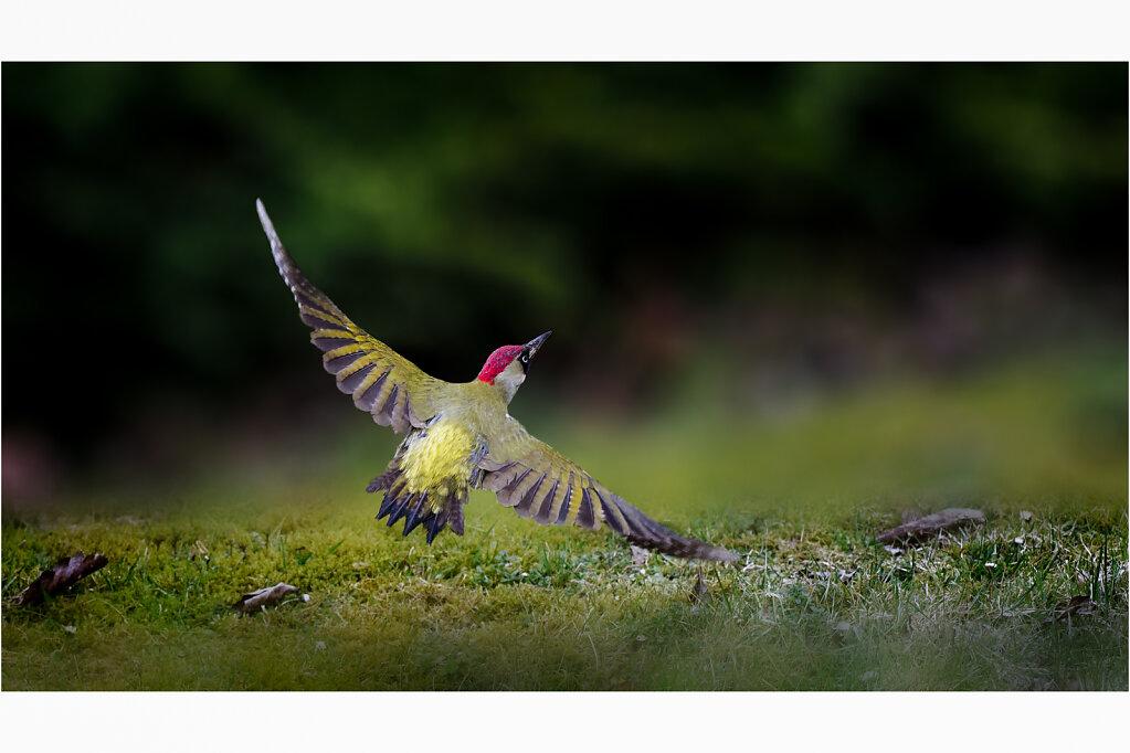 Grunspecht-Picus-viridis-European-green-woodpecker-Olympus-E-M1MarkII-4013519-DxO-Bearbeitet2-Bearbeitet.jpg