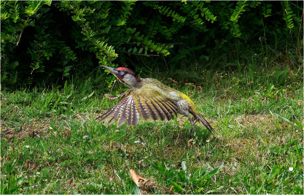 Gruenspecht-Picus-viridis-European-green-woodpecker-Olympus-E-M1MarkII-6231823-DxO.jpg