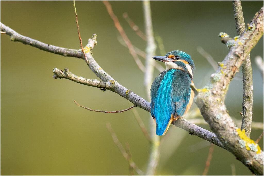 Eisvogel-Kingfisher-Olympus-E-M1l-034850-Bearbeitet.jpg