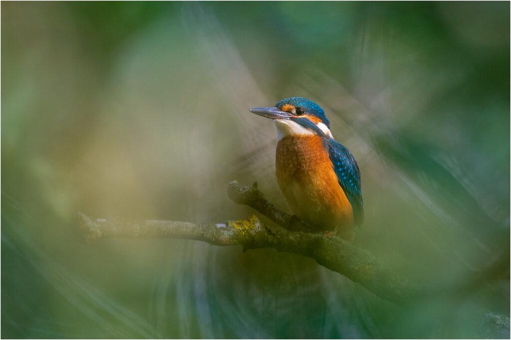Eisvogel-Kingfisher-Olympus-E-Ml-034878-Bearbeitet.jpg