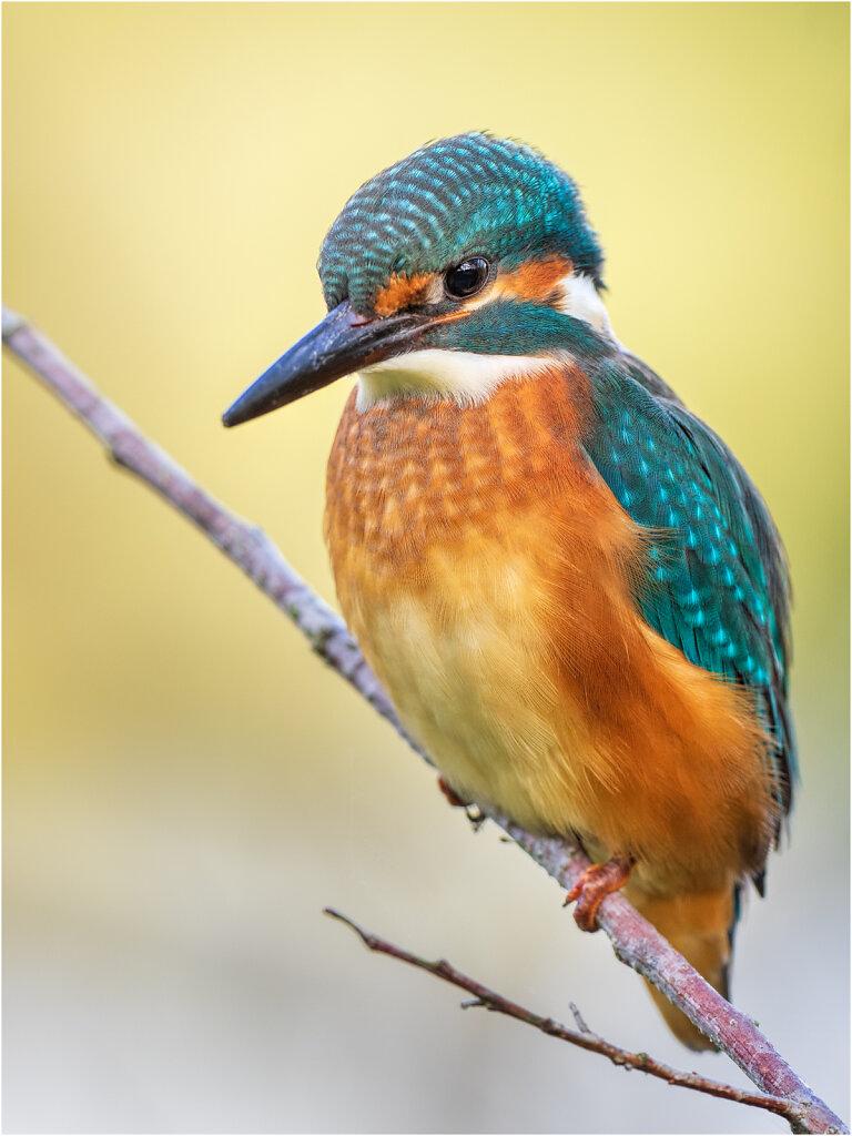 Eisvogel-Kingfisher-Olympus-E-M1-035029-Bearbeitet.jpg