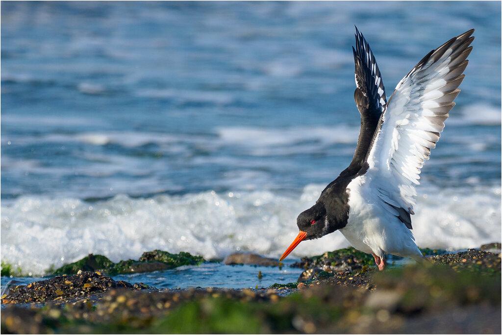 Austernfischer-217395-Bearbeitet-Bearbeitet.jpg