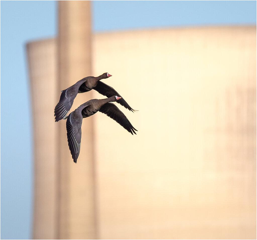 Blassgans-Anser-albifrons-Greater-white-fronted-goose-Olympus-E-M1MarkII-Olympus-E-M1MarkII-1021800-9-10.jpg