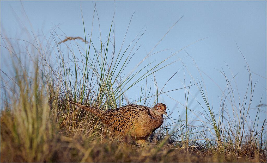 Fasan-Common-pheasant-Olympus-E-M1-3300189-Bearbeitet.jpg