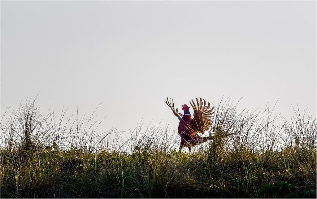 Fasan-Common-pheasant-Olympus-E-M1MarkII-5106337-DxO-Bearbeitet.jpg
