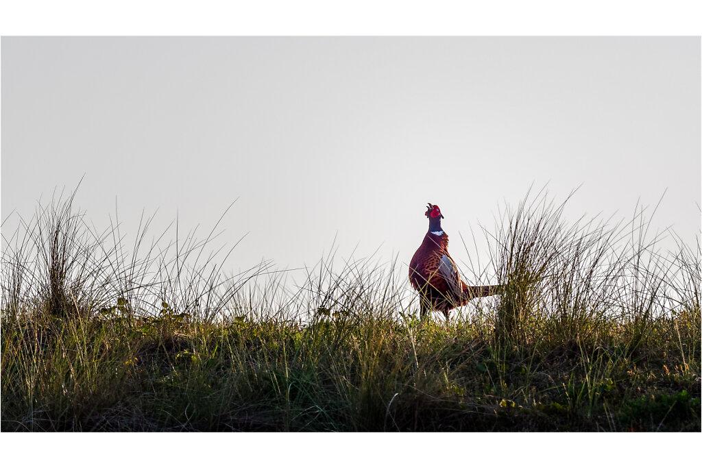 Fasan-Common-pheasant-Olympus-E-M1MarkII-5106335-DxO-Bearbeitet.jpg