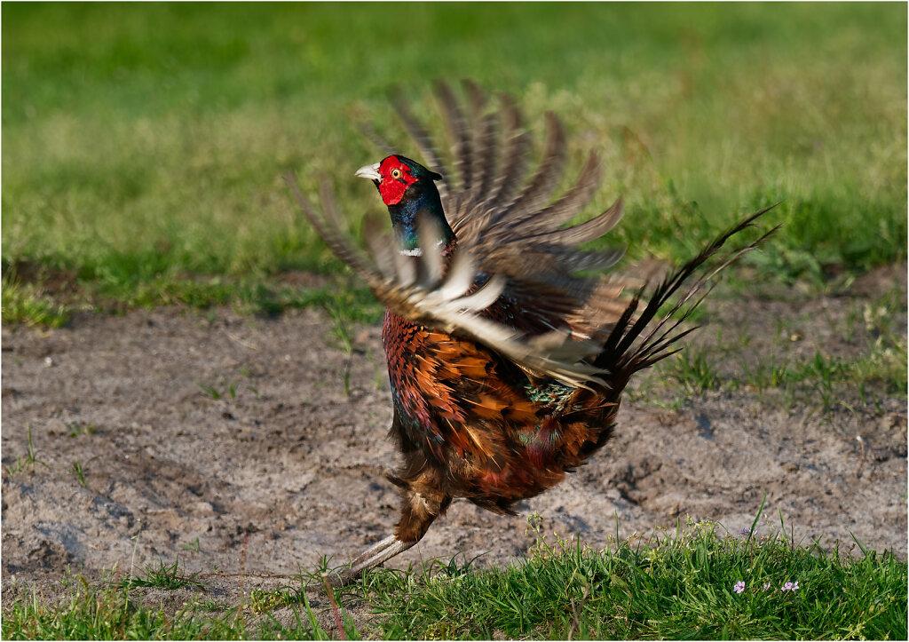 Fasan-Common-pheasant-Olympus-E-M1MarkII-5092795-DxO.jpg