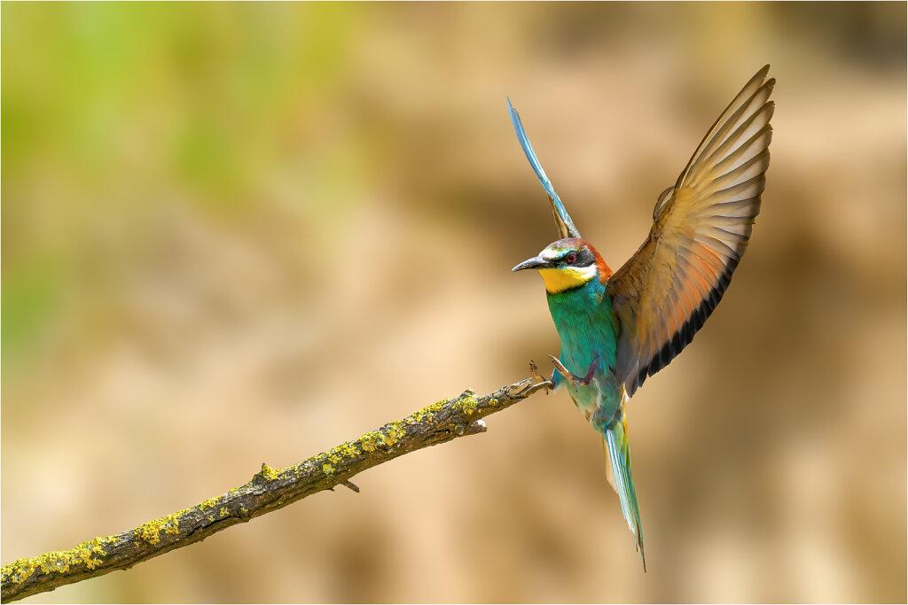 Bienenfresser- Bee-eater