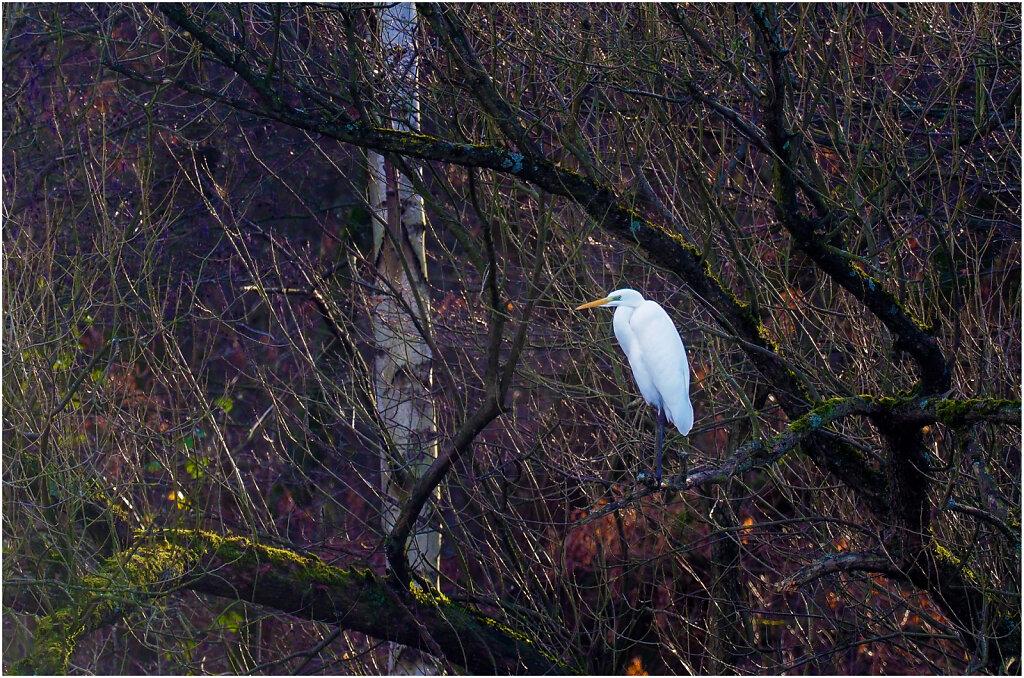 Silberreiher - Great egret